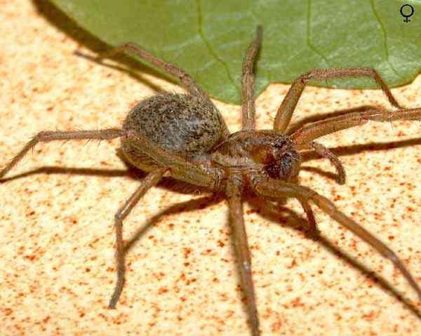 les pires araign es du monde. Black Bedroom Furniture Sets. Home Design Ideas