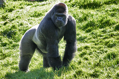 Top 10 des plus gros petits animaux d 39 une m me esp ce - Dessin d un gorille ...