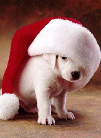 Christmas-Dog-christmas-16227139-350-480