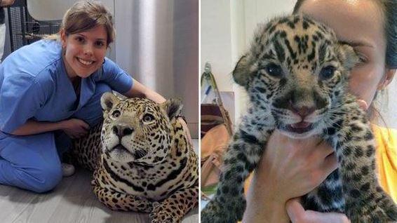 Elle ram ne un b b jaguar la vie gr ce au bouche bouche - Bebe du jaguar ...