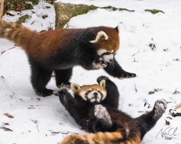 Red-Pandas-Firefox-Playing-In-Snow-640x511