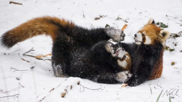 Red-Pandas-Play-In-Snow-640x360