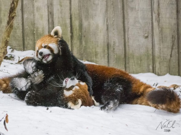 Red-Pandas-Playing-Together-In-the-Snow-640x480