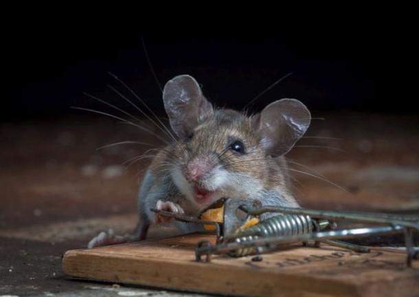 mice_vs_mousetraps_17-610x433.jpg