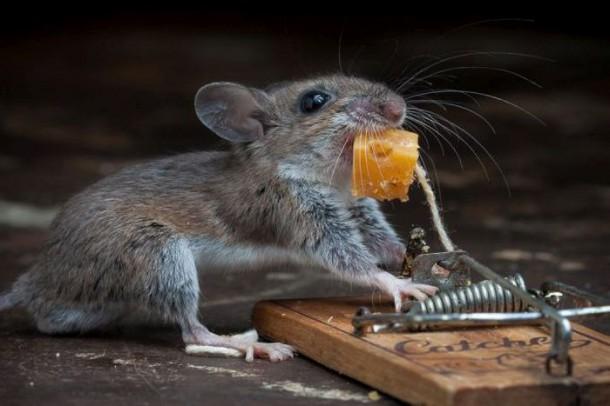 l 39 incroyable p riple d 39 une petite souris qui veut manger son fromage sans se faire coincer dans. Black Bedroom Furniture Sets. Home Design Ideas