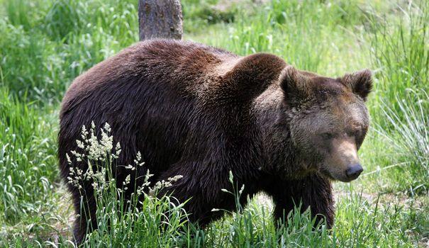 L'ours Balou, Relâché En 2006, Est Mort