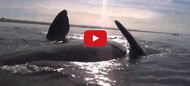 Les fanons de la mer une baleine terrorise des kayakistes - Fausse couche sans s en rendre compte ...