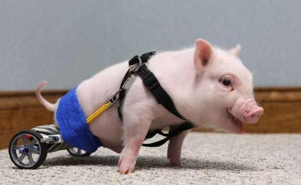 animals-prosthetics-5