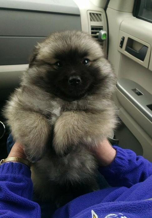 donne gros chien