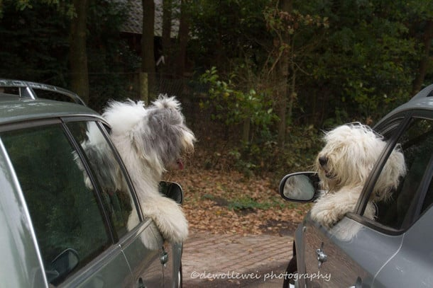old-english-sheepdog-dog-sisters-sophie-sarah-cees-bol-13