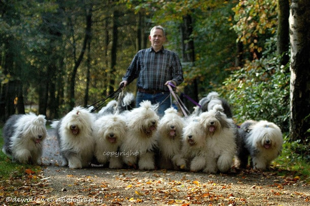 old-english-sheepdog-dog-sisters-sophie-sarah-cees-bol-35