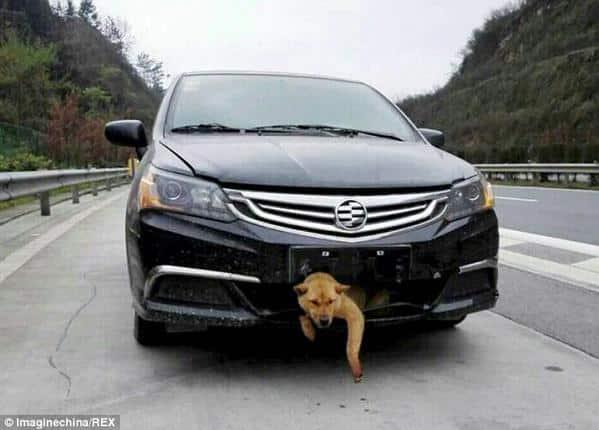 coinc dans la calandre d 39 une voiture ce chien parcourt 400 km. Black Bedroom Furniture Sets. Home Design Ideas