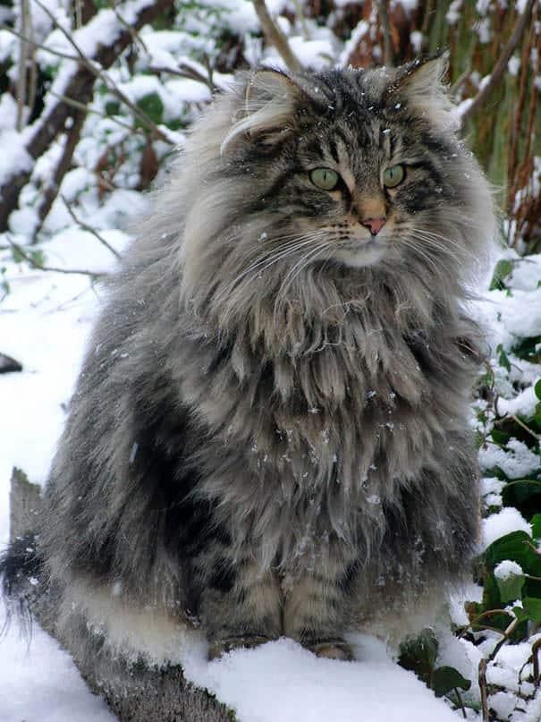 Les 20 chats domestiques les plus gros au monde