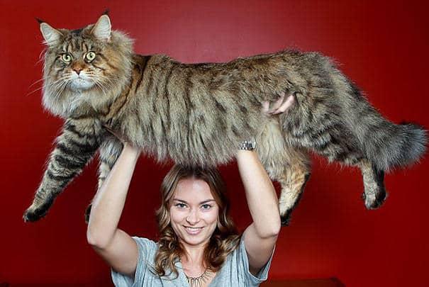 Pourquoi pas, mais il faudra alors envisager de se muscler pour pouvoir les  porter, car les chats en question semblent bien peser plus d\u0027une dizaine de
