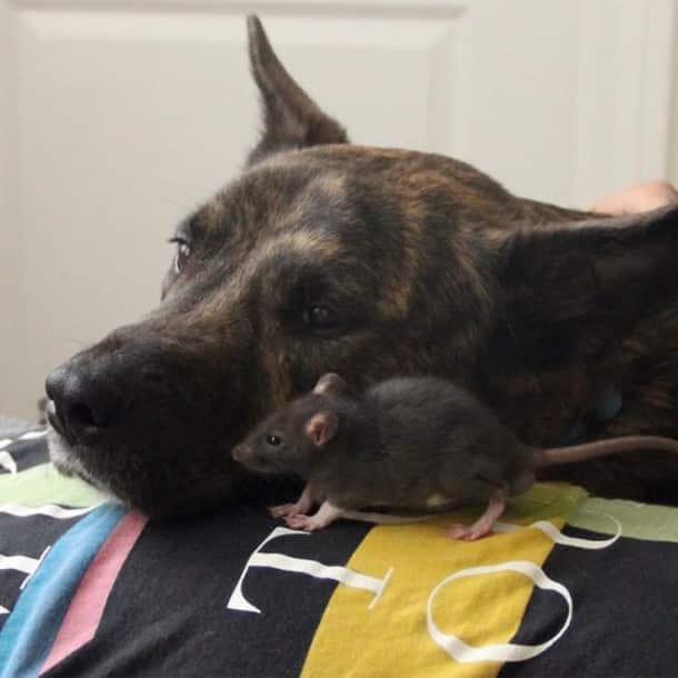 quand un chien de famille devient le meilleur ami d un rat. Black Bedroom Furniture Sets. Home Design Ideas