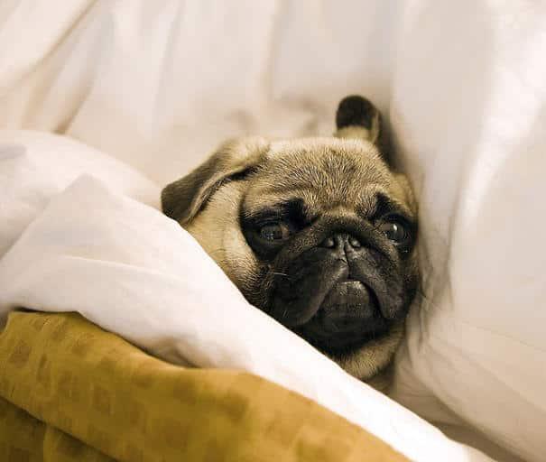 30 chiens qui sont venus squatter votre lit pour faire une petite sieste - Lit qui grince que faire ...