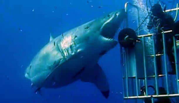 deep-blue-requin-blanc-giant