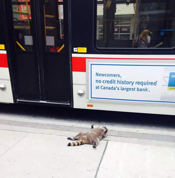 dead-raccoon-memorial-shrine-mourning-deadraccoonto-toronto-1
