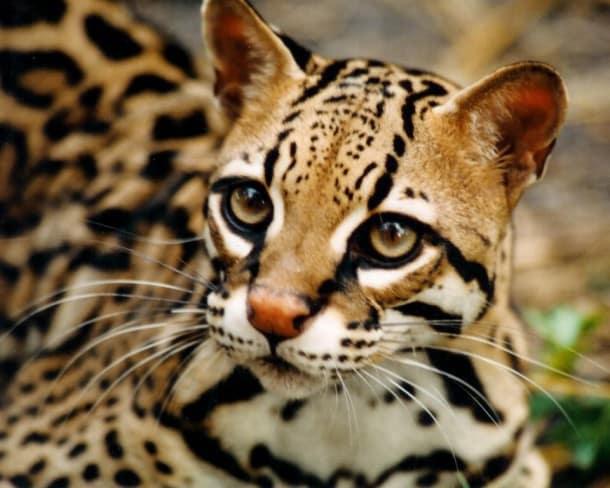Fabulous L'ocelot, ce chat sauvage qui fascine US25
