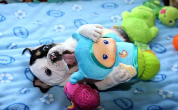 puppy-born-2-legs-half-bulldog-twice-heart-bonsai-6