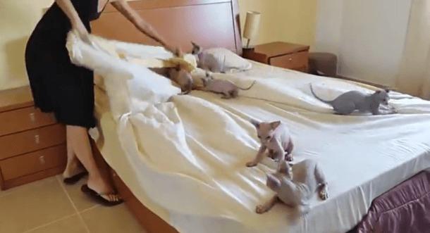 des b b s sphinx tout mignons aident leur ma tresse faire son lit. Black Bedroom Furniture Sets. Home Design Ideas