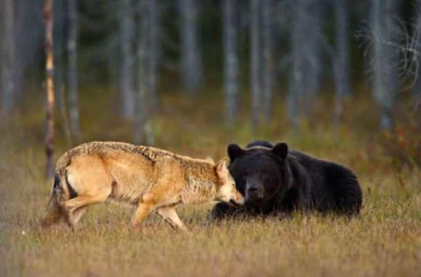 un joggeur rencontre un grizzly