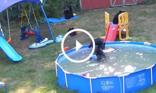 quand une famille d 39 ours squatte une piscine. Black Bedroom Furniture Sets. Home Design Ideas