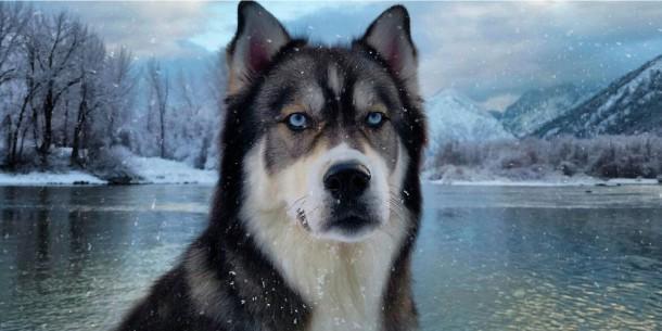 Kyro-le-husky-a-donne-a-Amanda-le-courage-de-quitter-son-compagnon-violent22