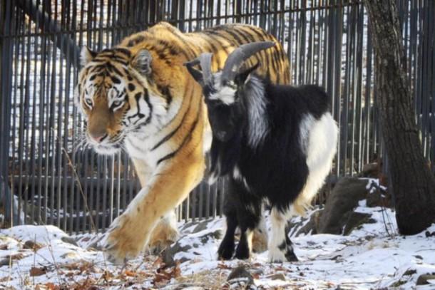 Fabulous Et pendant ce temps, ce tigre de Sibérie est toujours copain avec  EP76