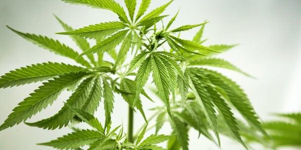 Close-up of Marijuana Plant