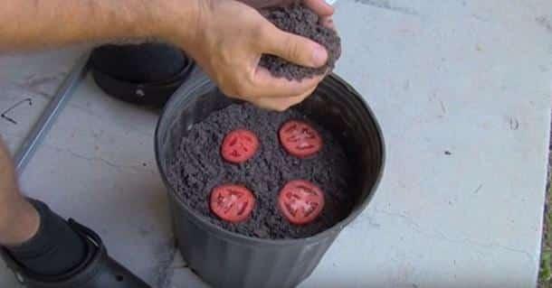 Il pose 4 rondelles de tomate dans un pot de terre et - Quand repiquer les tomates en pleine terre ...