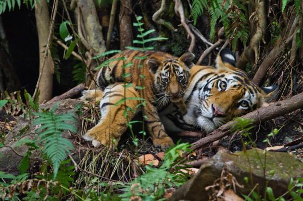 pour la premi re fois depuis un si cle le nombre de tigres sur terre a augment. Black Bedroom Furniture Sets. Home Design Ideas
