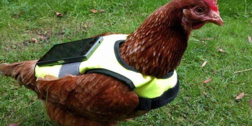 Pok mon go sa poule domestique se charge de faire clore for Oeuf de poule conservation