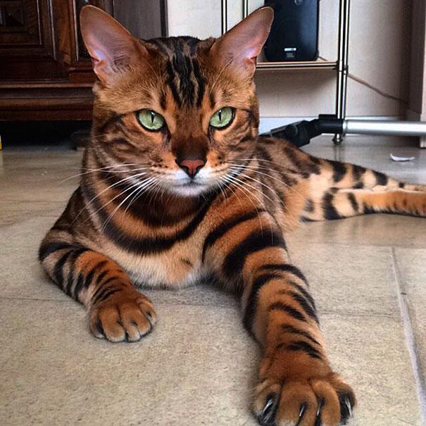 Les chats Bengal son très joueurs et ils acceptent tous les animaux, même  les chiens. Mais le plus surprenant chez eux, c\u0027est qu\u0027ils aiment beaucoup  l\u0027eau.