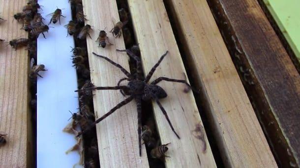 une araign e se fait attaquer par des abeilles vid o. Black Bedroom Furniture Sets. Home Design Ideas
