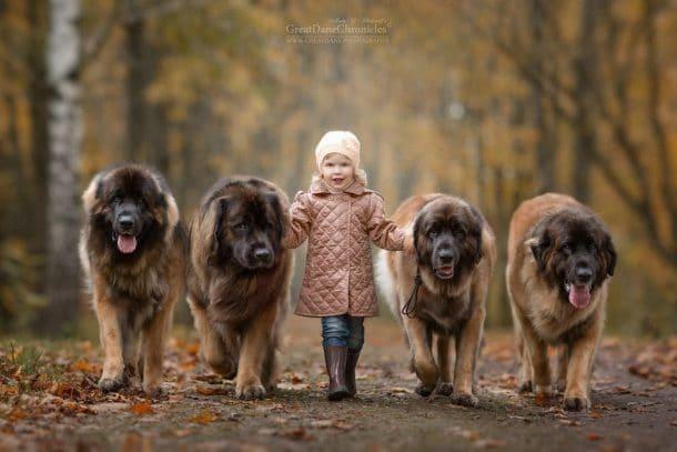 Une fillette et quatre gros chiens