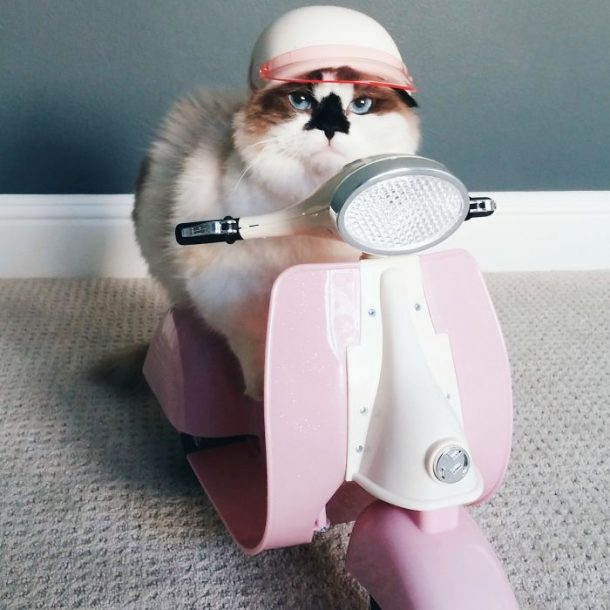 chat munchkin en scooter