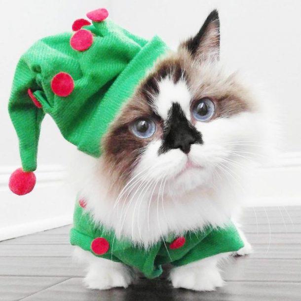 chat munchkin en lutin de Noël
