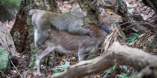 accouplement étonnant entre un macaque et une biche sika