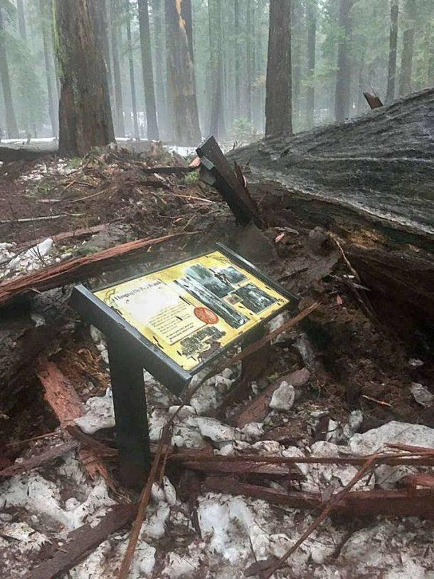 sequoia géant millénaire