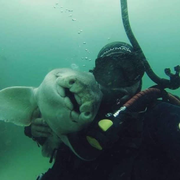 Amitié entre le plongeur Rick Anderson et un requin de Port Jackson