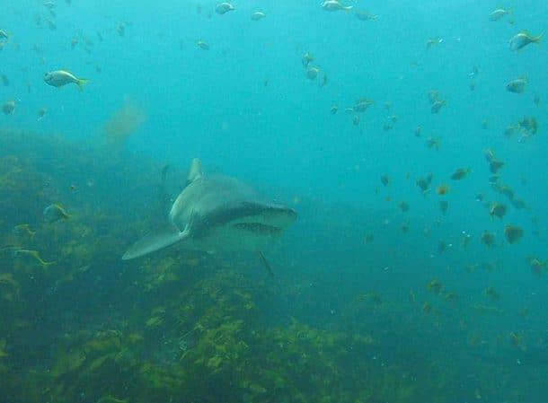 Requin aperçu durant une session de plongée sous-marine en Australie