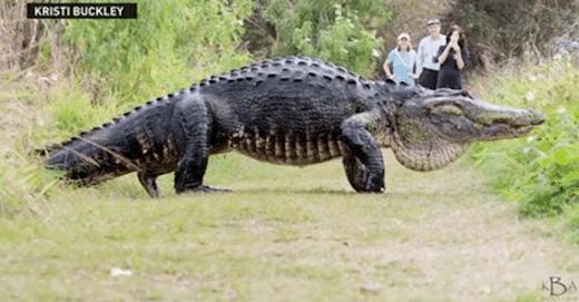 Vidéo : ils croisent la route d'un alligator... de 4.5m
