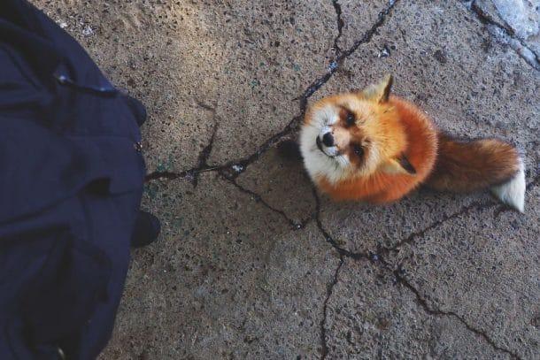 Renard du village Zao Fox