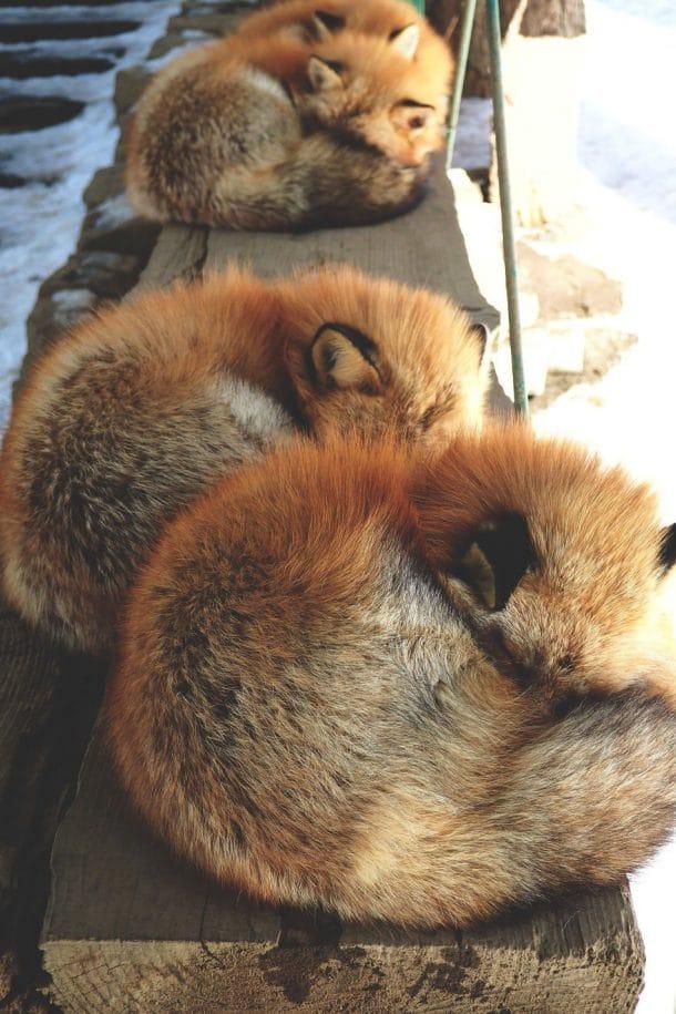 Village nippon avec des renards