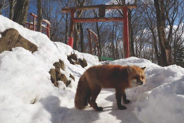 Village japonais envahit de renards