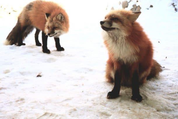Village des renards