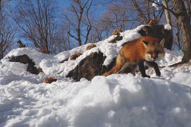 Village entièrement peuplé de renards