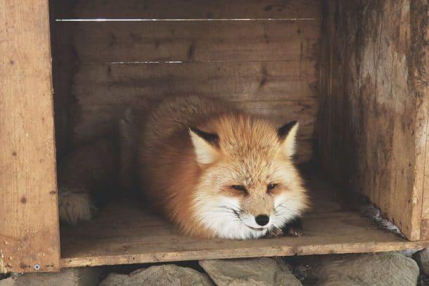 Village japonais habité par des renards