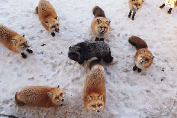 Village japonais où il n'y a que des renards